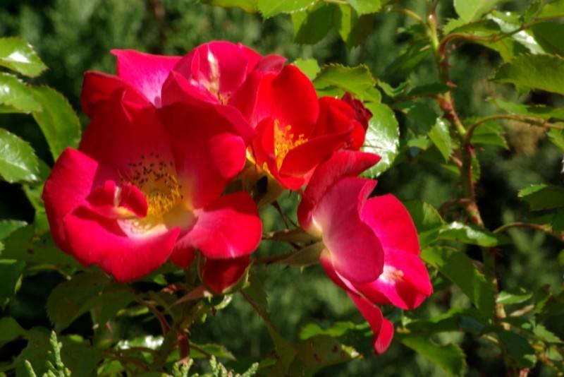 Fournitures des vegetaux et plantation arbustes fleurs for Plantes arbustes vivaces